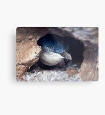 Blue Penguin - New Zealand Metal Print