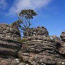 0471 Tree on rocks - Grampians by Hans Kawitzki