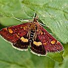 Mint Moth by John Thurgood
