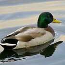 Mr Duck..... looking for Mrs Duck by Larry Llewellyn