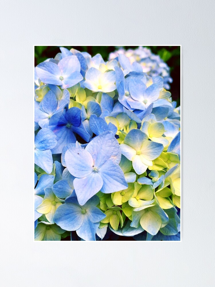 Alternate view of Gardener Gift - Blue Hydrangeas Poster