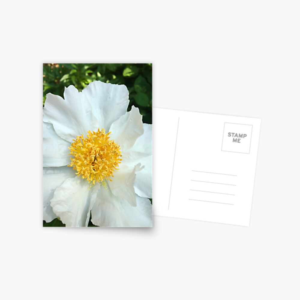 Floral Gift - Chinese Peony Photography  Postcard