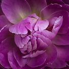 Purple Peony by alan shapiro