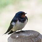 Barn Swallow by M S Photography/Art