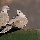 Collared Doves  by M S Photography/Art
