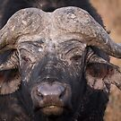 Old Cape Buffalo by Dennis Stewart