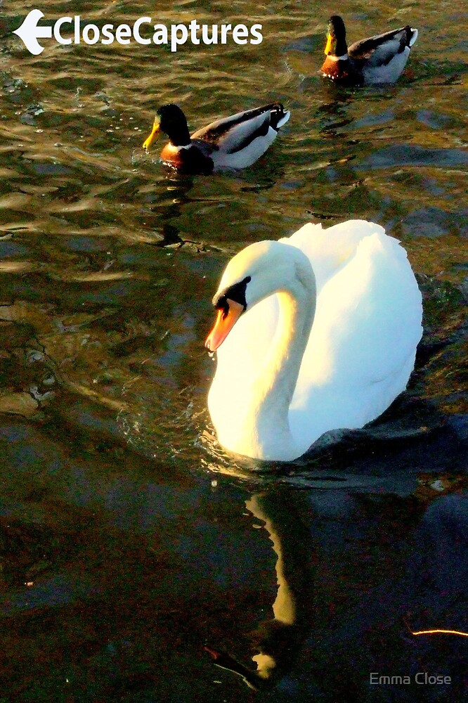 Swans and Ducks1 by Emma Close