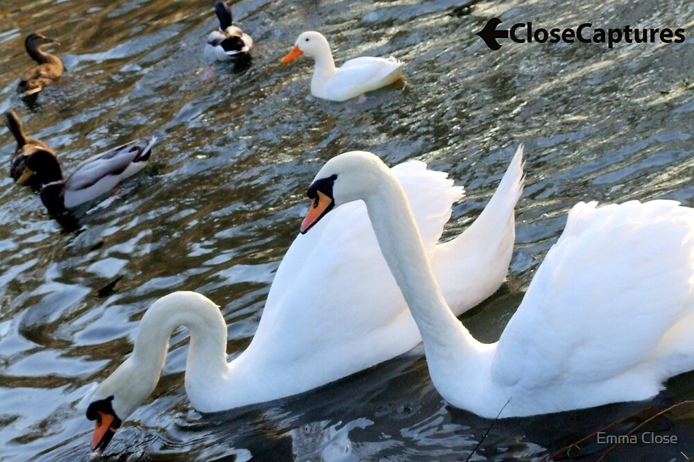 Ducks and Swans 2 by Emma Close