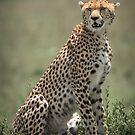 Resting Cheetah by Dennis Stewart