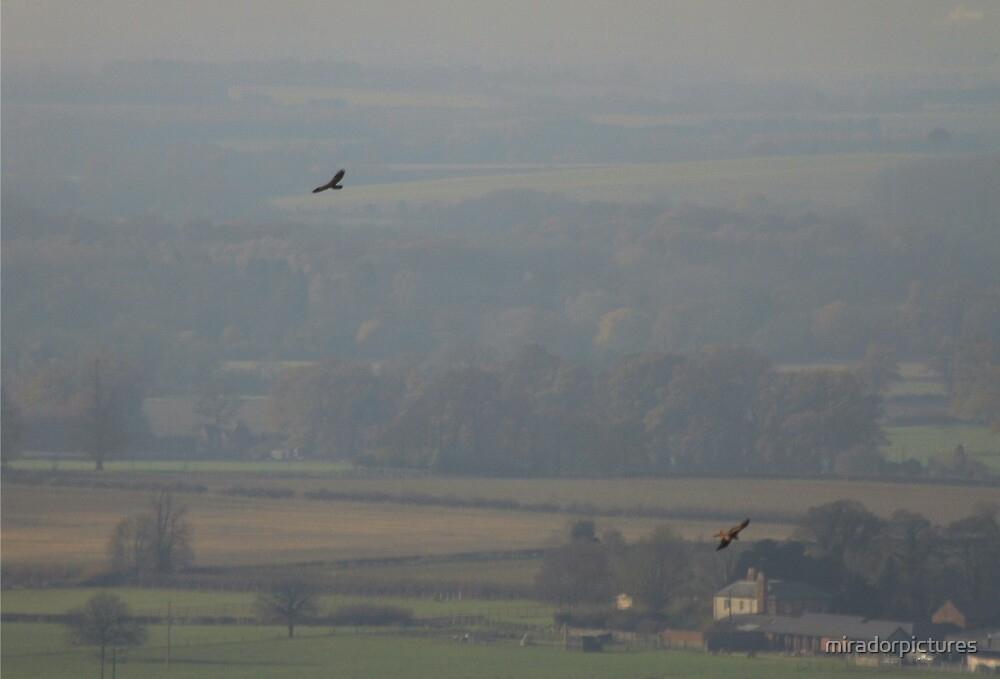 Red kites soar over the greenest Chiltern hills by miradorpictures