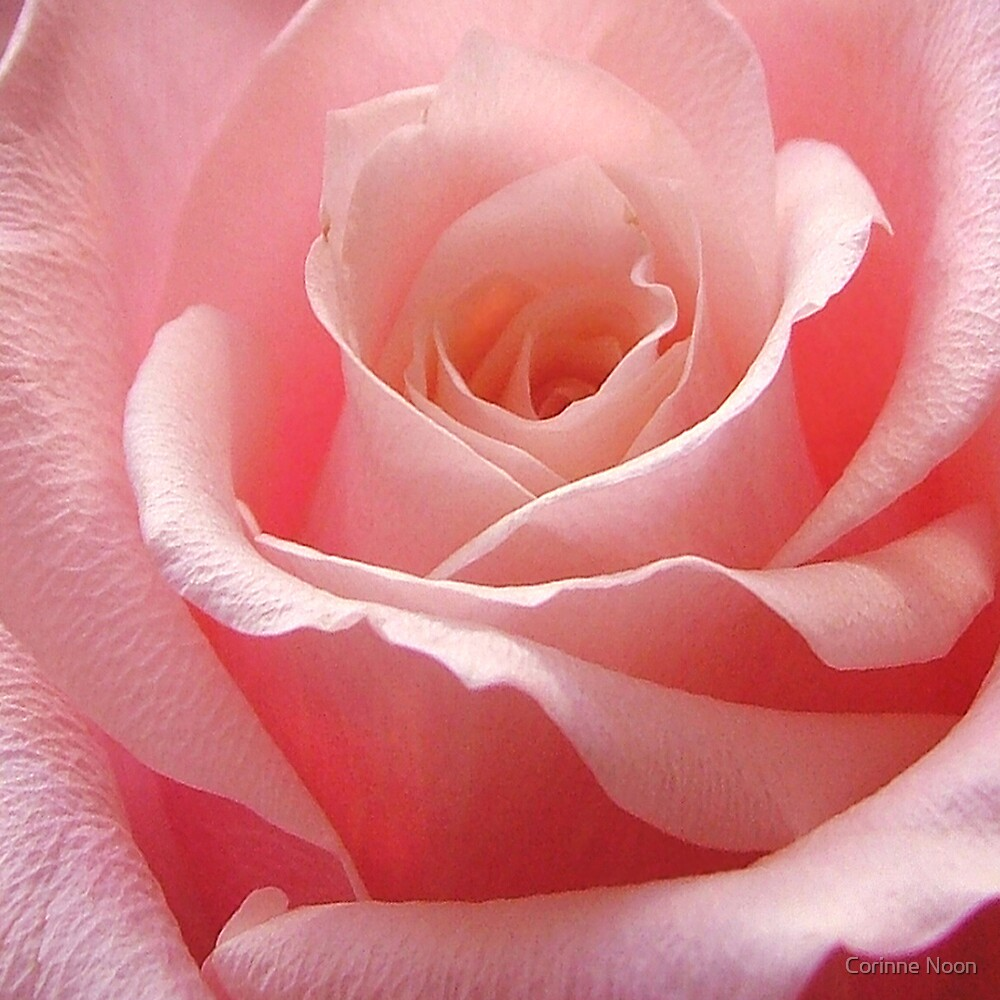 "Medium "" Pink"" Rose by Corinne Noon"