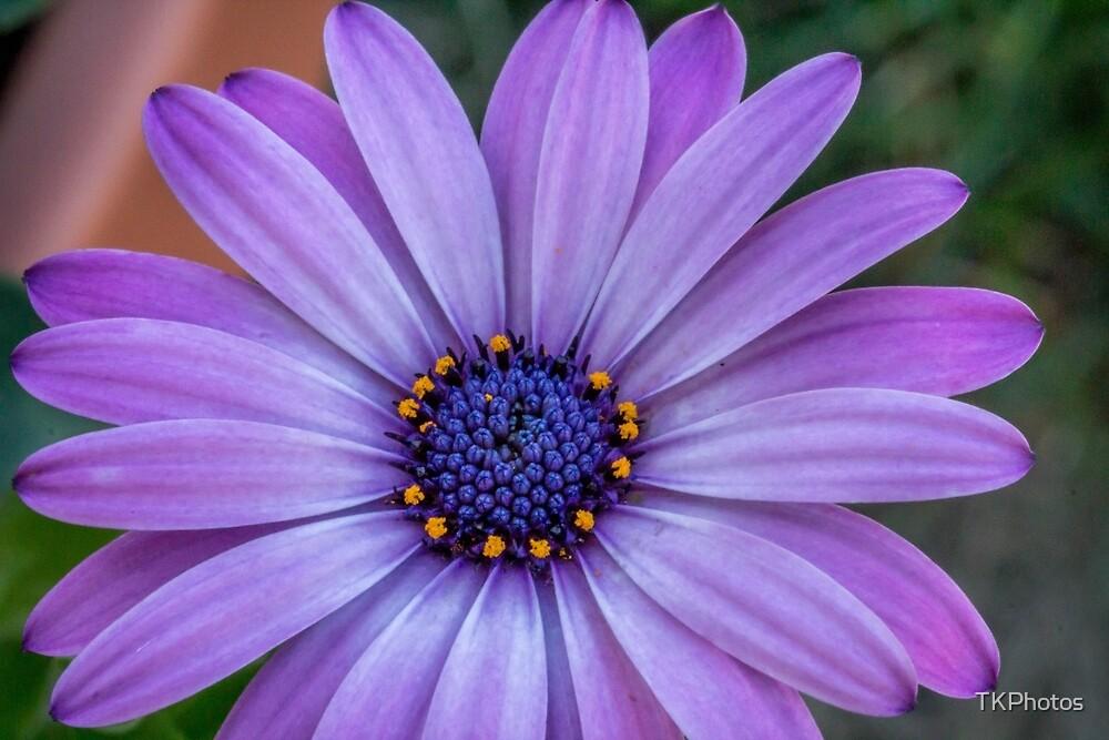 Purple Flower  by TKPhotos