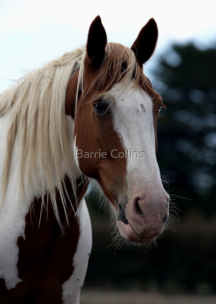Indian Joe 'The Wall Eyed Rodeo Horse' by Barrie Collins