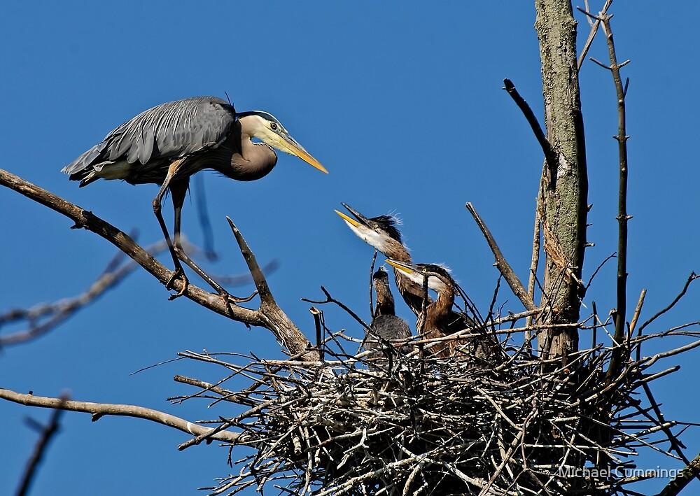 Great Blue Heron with Babies - Ottawa, Ontario by Michael Cummings