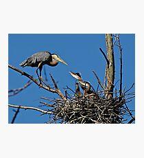 Great Blue Heron with Babies - Ottawa, Ontario Photographic Print