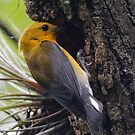 Prothonotary Warbler in nest by Dennis Cheeseman
