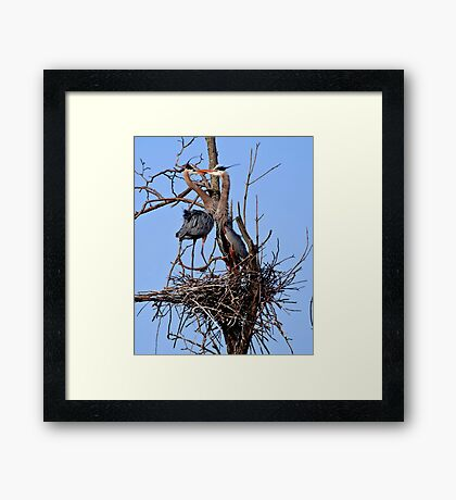 Great Blue Heron Couple - Kempville, Ontario Framed Print