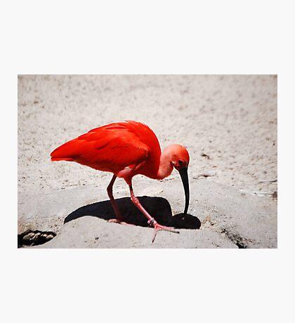 Scarlet Ibis Photographic Print
