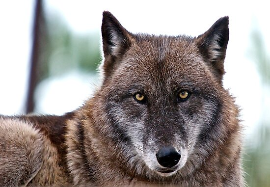 Wolf by TJ Baccari Photography