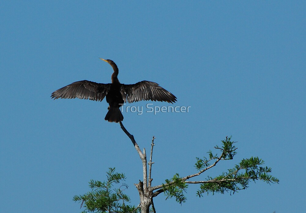 anhinga tree top by Troy Spencer