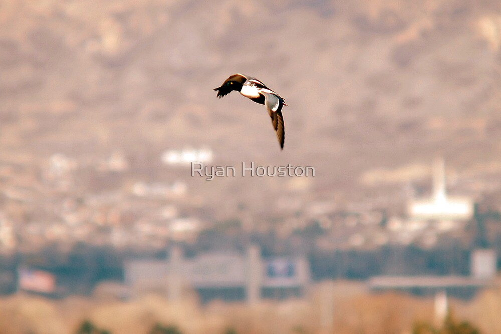 Northern Shoveler - Flight by Ryan Houston