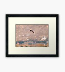 Northern Shoveler - Flight Framed Print