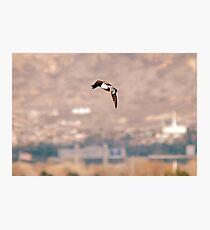 Northern Shoveler - Flight Photographic Print
