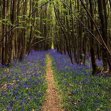 Stroll through a Bluebell Wood by Knobrot