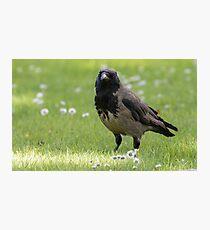 Hooded Crow Photographic Print