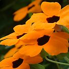 Black Eyed Susan by picketty