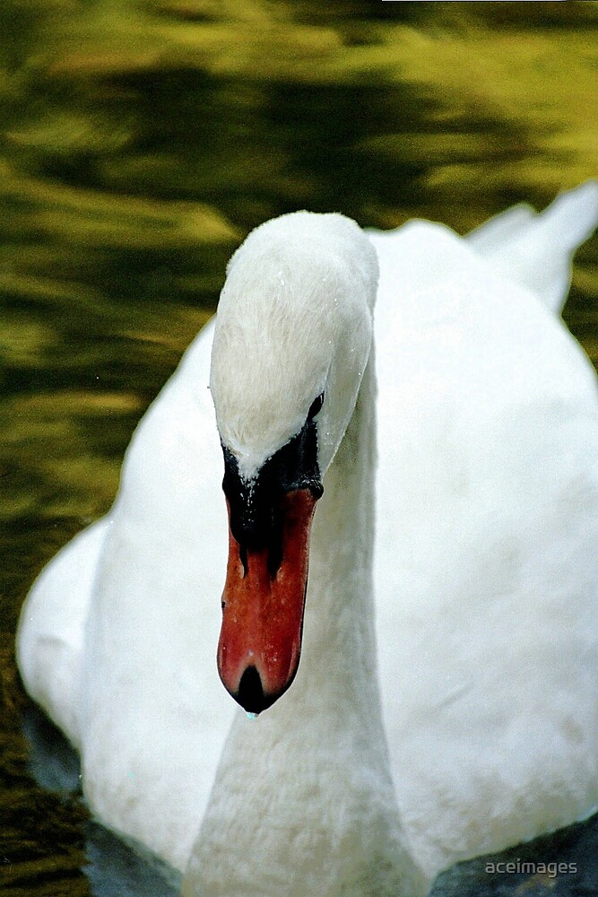 swan by aceimages