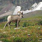Bighorn Sheep by Alla Gill
