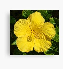Yellow Hibiscus Blossom   Canvas Print