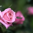 baby roses by picketty