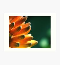 Red hot poker Art Print