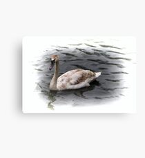 brown feathers swan Canvas Print