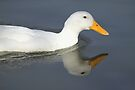 Duck Reflection, South Astralia  by Carole-Anne