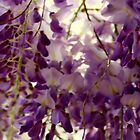 Wisteria ~ Spring Of 2016 by Evita