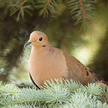 Dove by EugeJ