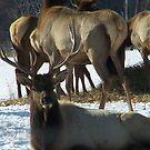 Fenced in Elk  by RLHall
