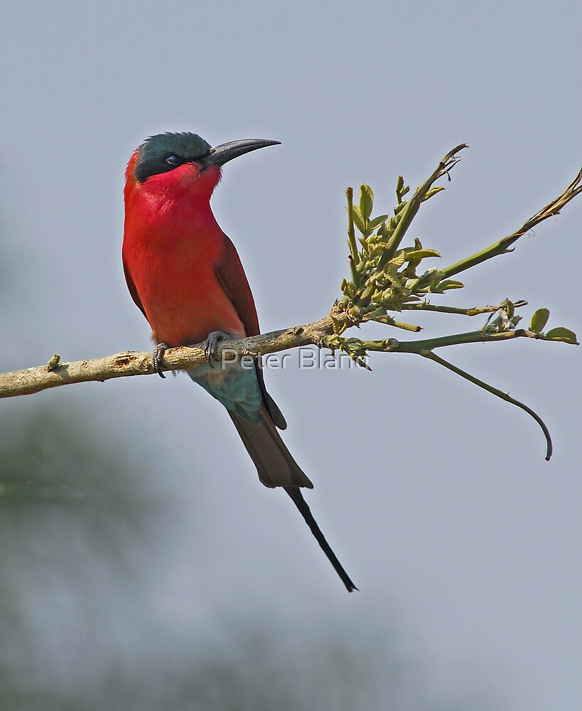 Carmine Bee-eater by Peter Bland