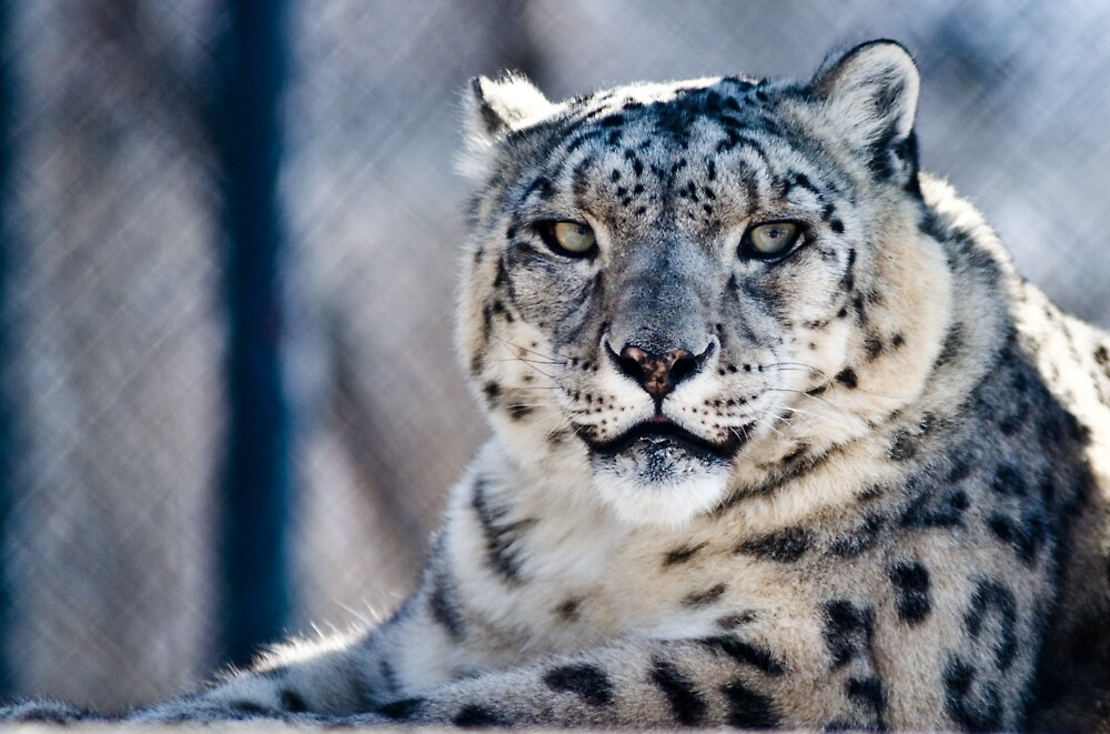 Snow Leopard by Geoffrey