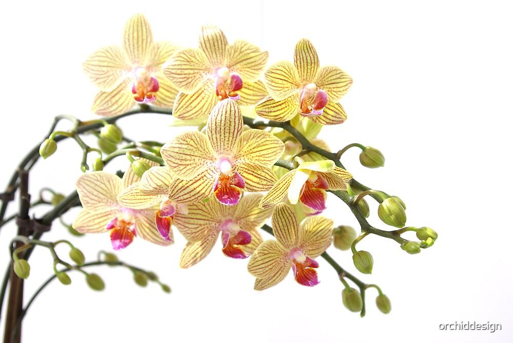 Phaelenopshis II by orchiddesign