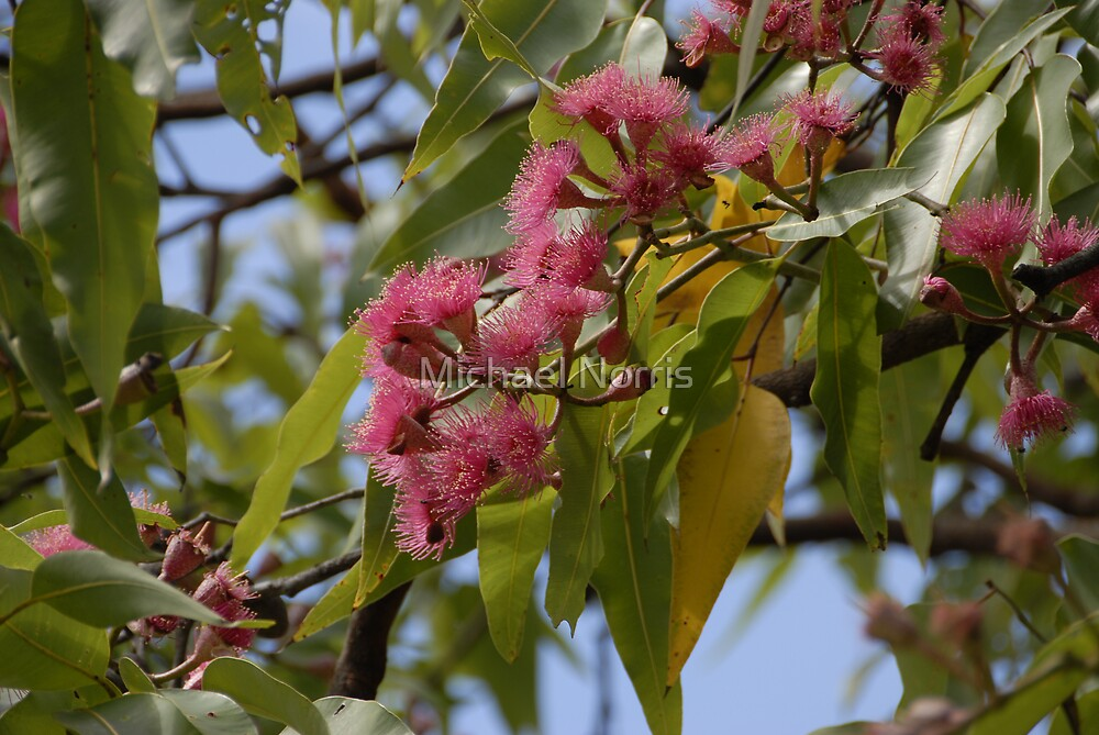 Gum Tree Blossoms by Michael Norris