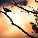 Osprey Silhouette by Caleb Ward