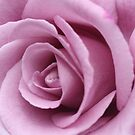 lilac rose #2 by picketty