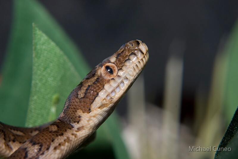 Baby Python 2 by Michael Cuneo
