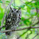 Eastern Screech Owl by Karen  Helgesen