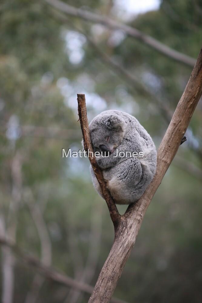 sleeping koala  by Matthew Jones
