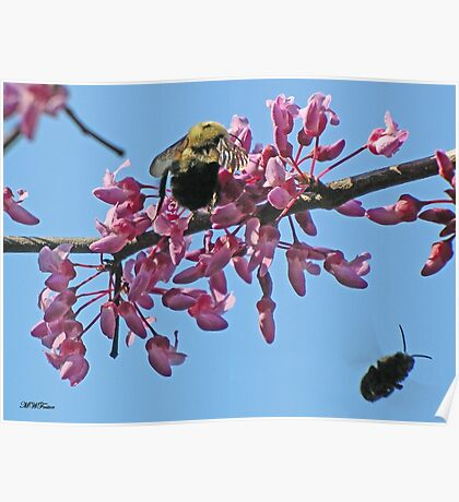 Bees on Redbud Poster